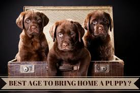 best age to bring a puppy home 3 chocolate pups in a trunk