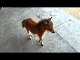 baby mini horse.  Horse Baby Miniature Horse Chasing Me To Mini Horse