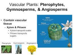 Angiosperm Vs Gymnosperm Venn Diagram Angiosperm Vs Gymnosperm Pop Quiz 5 Gametophytes Are A Haploid