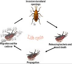 Cycle Scientific Download Entomopathogenic Of Life Diagram Nematodes