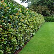 Privacy Hedge Plants Best 25 Privacy Plants Ideas On Pinterest Best Privacy  Hedge