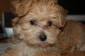 s morkie puppies