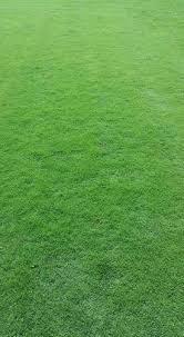 carpet grass. barmuda grass carpet