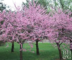 Design U0026 Decorating Traditional Landscape With Magnolias On Right Good Trees For Backyard