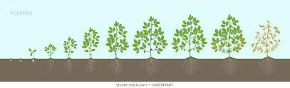 Growing Soybean Images Stock Photos Vectors Shutterstock