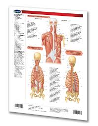 When the muscle contracts, it achieves flexion of the vertebral column…taking your entire torso and anatomy is hard to learn. Muscular System Functions Head Torso Quick Reference Guide