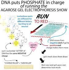 Gel Migration Chart Agarose Gel Electrophoresis The Bumbling Biochemist
