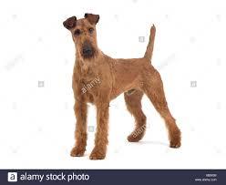 Irish Terrier Standing Stock Photos Irish Terrier Standing
