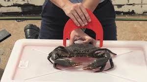 Crab Size Chart Nj How To Correctly Measure A Crab
