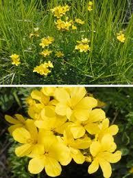 Linum capitatum Kit. ex Schult. subsp. serrulatum (Bertol.) Hartvig ...