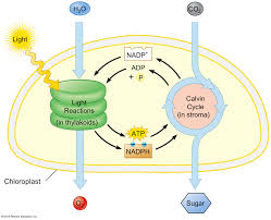 Picture Of Light Reaction Light Reactions The Initial Reactions In Photosynthesis