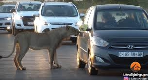 locked car. Keep Your Doors Locked: Lion Tries Breaking Into Car Locked