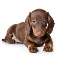 dachshund puppies for