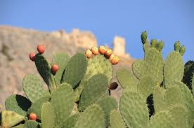 <b>Prickly Pear</b>: How to Grow and Care for Opuntia <b>Cactus</b> | Garden ...
