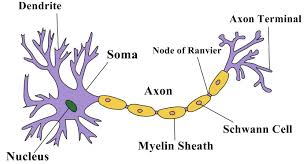 Structure Of A Neuron Owlcation