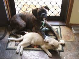 boxers are great with cats well at times they are a little possesive