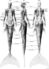 Учёные шутят Анатомия русалок Анатомия русалок мускулы