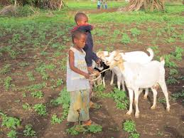 file goats are an important part of the solution to global food file goats are an important part of the solution to global food security because they