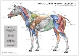 Equine Acupuncture Points Chart There Are Many More Stress