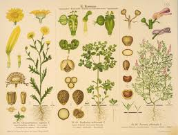 Vintage Botanical Chart Collateral Botanical Prints