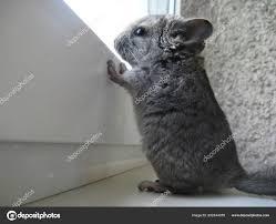 Das Kleine Chinchilla Kind Schaut Neugierig Aus Dem Fenster