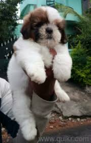 superb quality shih tzu puppies for