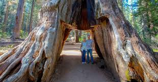 giant sequoia tunnel tree in california is toppled by storm the new york times