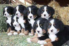 bernese mountain dog. bernese mountain dog group shot n