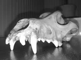 Small Animal Skull Identification Chart Animal Skull Id Using Teeth The Infinite Spider