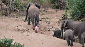 pink albino elephant.  Elephant An Actual Pink Elephant On Pink Albino Elephant