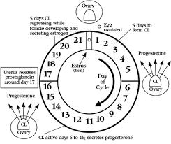 Estrus Synchronization And Artificial Insemination Programs