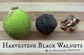 harvesting black walnuts. Interesting Harvesting Black Walnut Trees Are Large 50 To 150foot With Compound  Leaves Each Leaf Is 1224 Intended Harvesting Walnuts O
