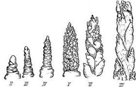 Курсовая работа Яровая пшеница сорт Иргина Начало iii этапа органогенеза совпадает обычно с появлением третьего Этот этап знаменует собой переход к формированию зачаточного соцветия колоса