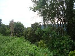 Di indonesia sampai saat ini budidaya tanaman hhbk belum banyak. Hasil Hutan Bukan Kayu Dari Sulawesi Tengah Risalah Rimbawan