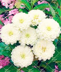 50PCS Bonsai Zinnia Seeds Multicolor Chrysanthemum Seeds Beautiful Decorative Plants For Home
