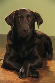 chocolate lab with blue eyes. Velvety Sleek Chocolate Labs Are One Of The Most Popular Color Labrador Retrievers Throughout Lab With Blue Eyes