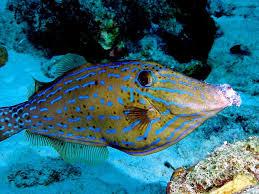 scrawled filefish. Plain Scrawled Scrawled Filefish Throughout Filefish