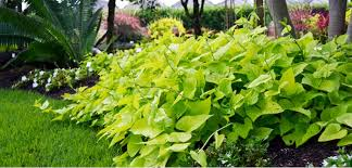 sweet potato plant flower. Modren Potato Sweet Potato Vine Ipomoea Batatas To Plant Flower