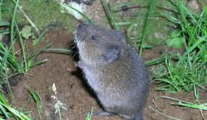 how to get rid of voles in garden. Fine Rid Getridofvolesjpg Throughout How To Get Rid Of Voles In Garden W
