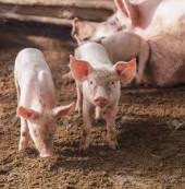 Pig Farming Business Plan Lucrative Pig Farming Business Plan And Feasibility Study Chris