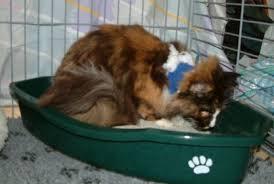 Kat zakt door achterpoten