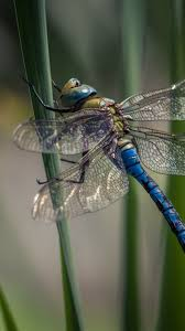 Dragonfly, insect, grass 750x1334 ...