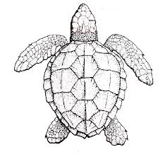 Small Picture Turtle drawings Sketching vector inside Turtle Drawings Coloring
