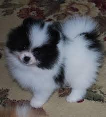 8 cute pomeranian puppies for adoption text 6122311213