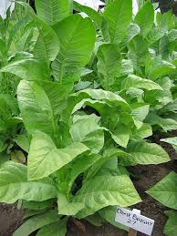 Dixie Bright 27 Tobacco Seeds ~ Nicotiana Tabacum ~ HEAVY ...