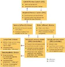 Flow Chart Of Nervous System In Human Beings The Nervous System