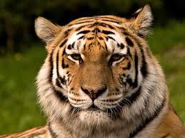tiger makeup inspiration