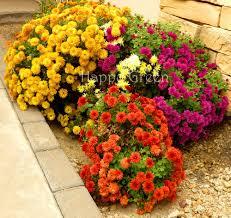 details about garden mum mix 300 seeds chrysanthemum indi hortorum perennial flower