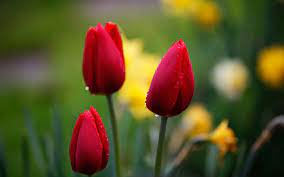 Wallpaper nature flowers, Red tulips ...