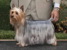 silky dog. history silky dog
